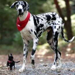 Largest-Dog-by-Height-Gibson-1-260x260