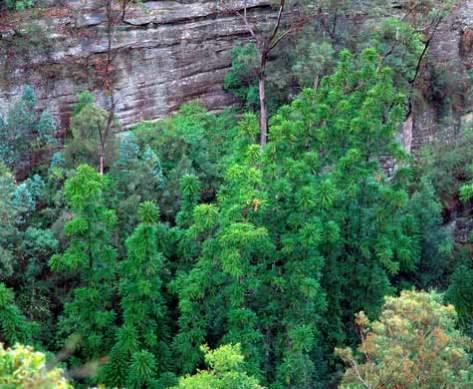 wollemi-pine-tree