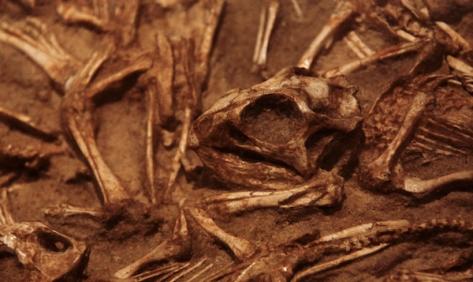 GOBI DESERT DINO GRAVEYARD